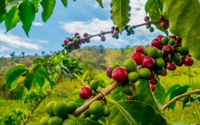 Escasea el café en las fincas puertorriqueñas