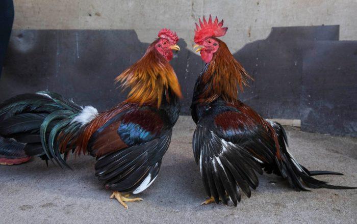 Gobierno en defensa de las peleas de gallos
