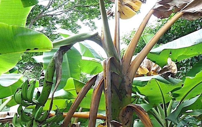 Agricultura toma medidas ante hongo que afecta plátanos y guineos en Colombia