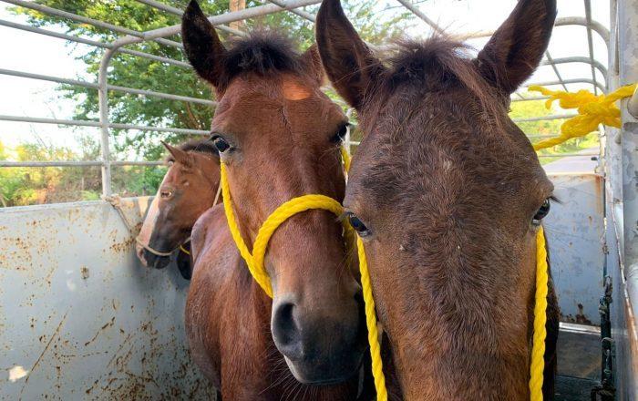 Recogerán caballos realengos en Santa Isabel