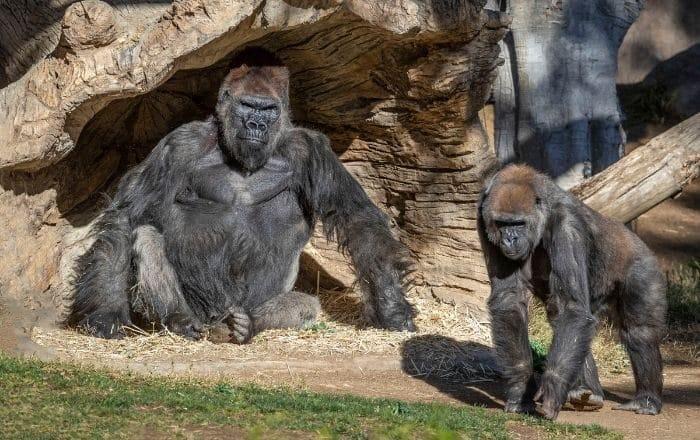 Gorilas arrojan positivos a coronavirus