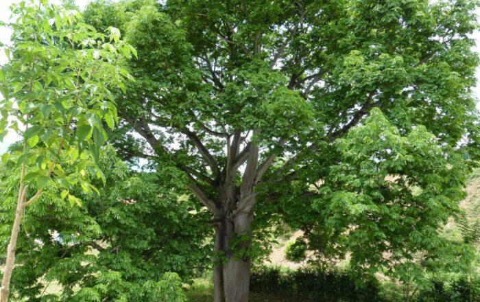 Sembrarán 5,000 árboles en el Sur